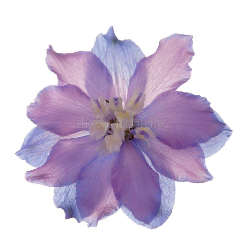 Flor translúcida del delphinioum fotografía de archivo
