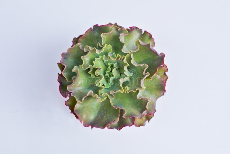 Flor tropical, única, exótica, modelada Wi ondulados verdes de las hojas fotos de archivo