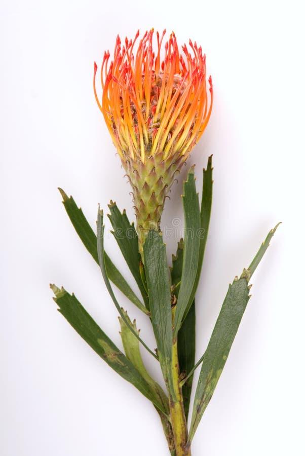 Flor tropical foto de archivo libre de regalías