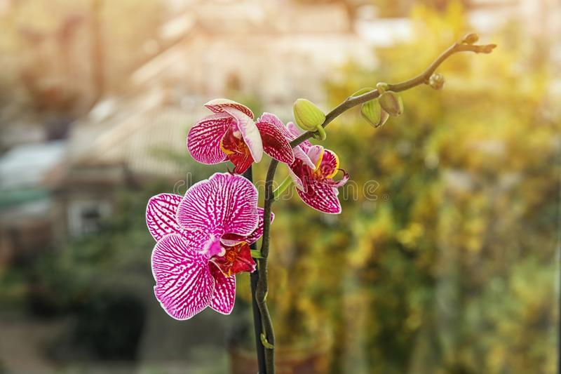 Flor tropical bonita da orquídea perto do vidro de janela foto de stock
