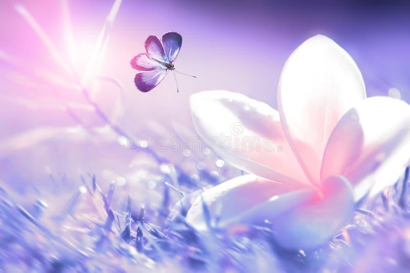 Flor tropical branca e cor-de-rosa bonita e borboleta roxa em voo em um fundo da grama roxa nas gotas da água Blurre foto de stock royalty free