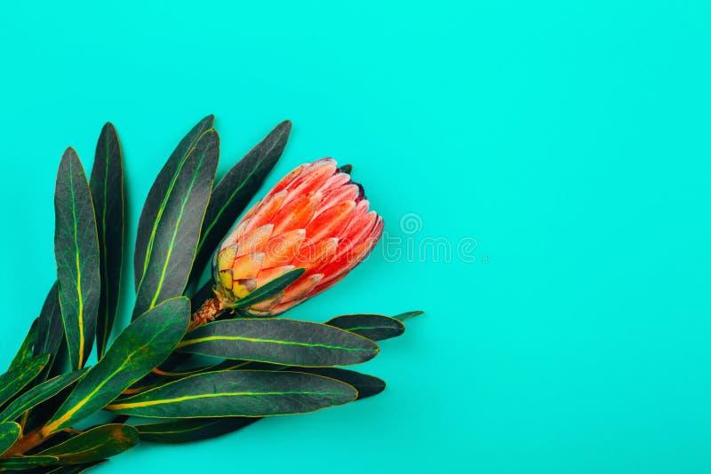 Flor tropical cor-de-rosa do protea com as folhas verdes no fundo pastel azul imagens de stock royalty free