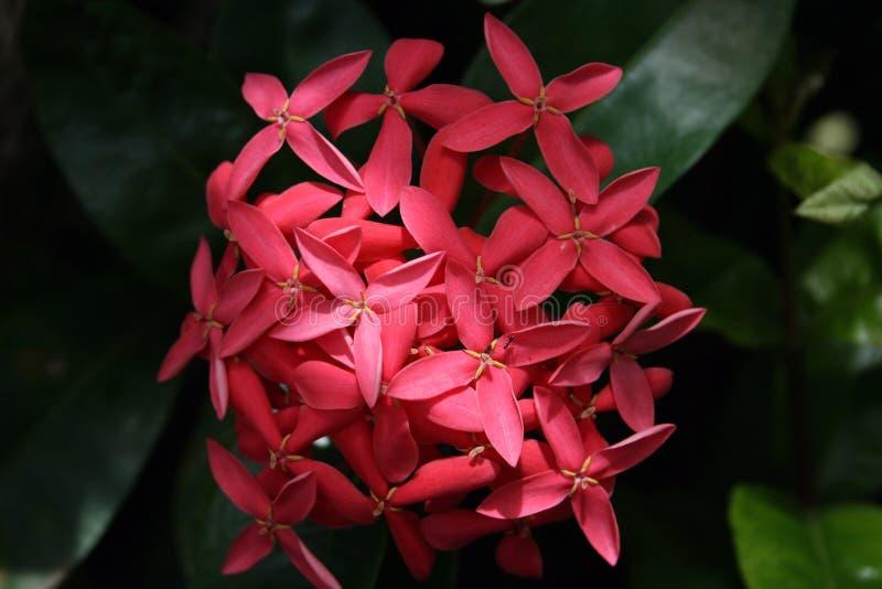Flor tropical cor-de-rosa doce imagem de stock