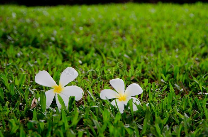 Flor tropical de Leelavadee fotos de archivo