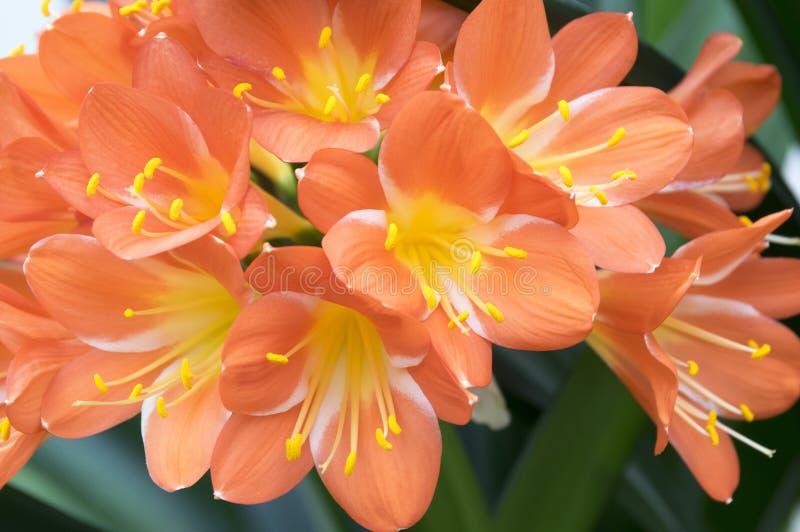 Flor tropical decorativa alaranjada do miniata de Clivia, grupo de flores fotografia de stock royalty free