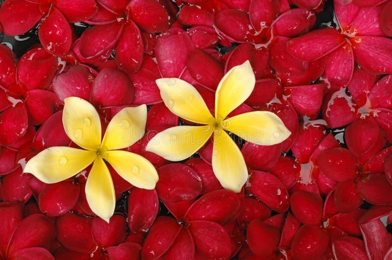 Flor tropical do frangipani fotos de stock