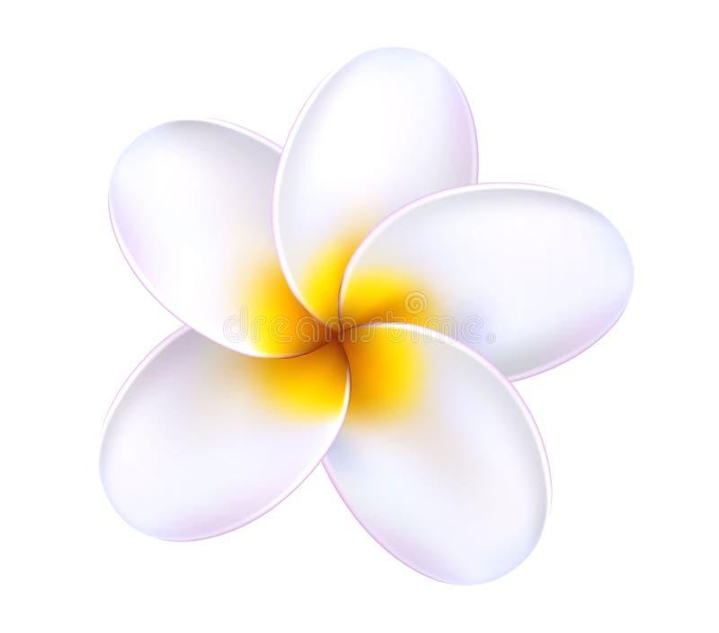 Flor tropical do frangipani do plumeria do vetor 3d ilustração royalty free