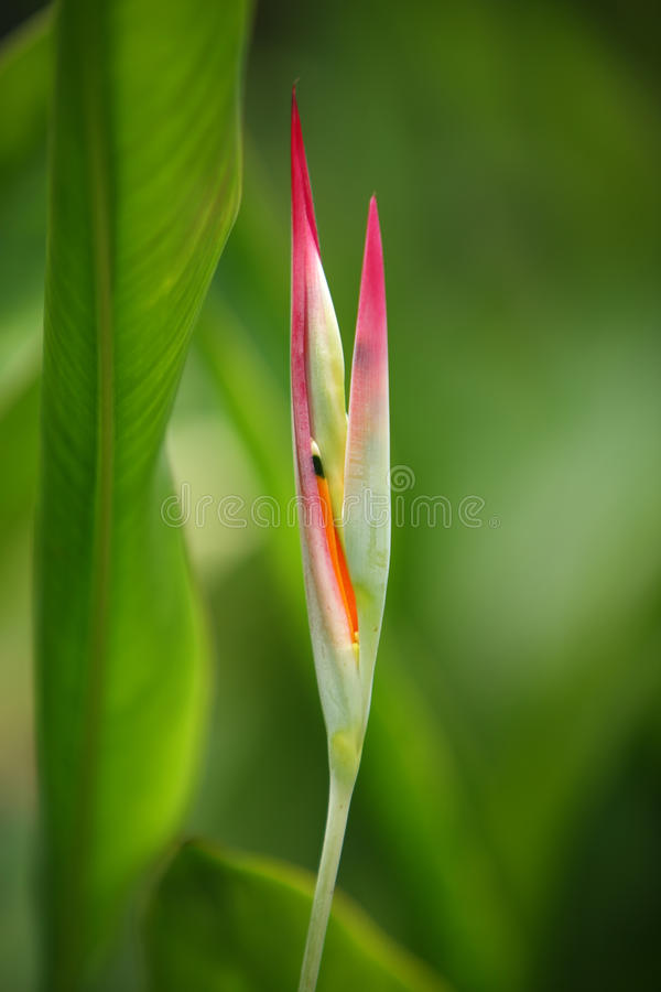 Flor tropical, Heliconia imagem de stock royalty free