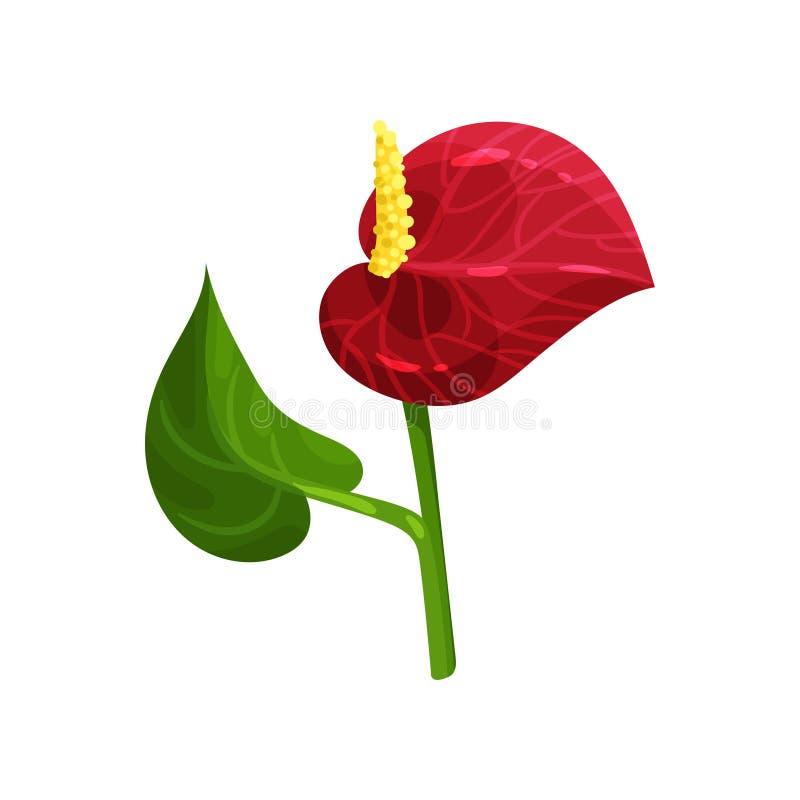 Flor tropical lindo Antúrio com pétala vermelha e a folha verde Elemento liso do vetor para o convite, cartaz ou ilustração royalty free