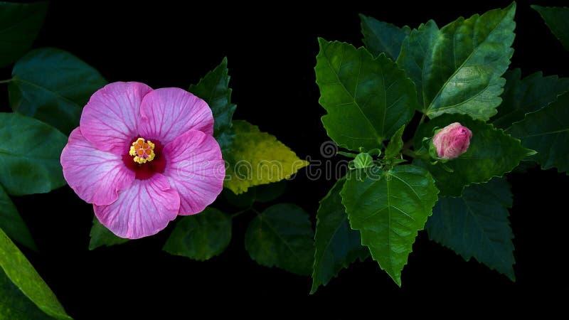 Flor tropical, malva color de rosa del hibisco rosado o ingenio color de rosa del chino imagen de archivo libre de regalías