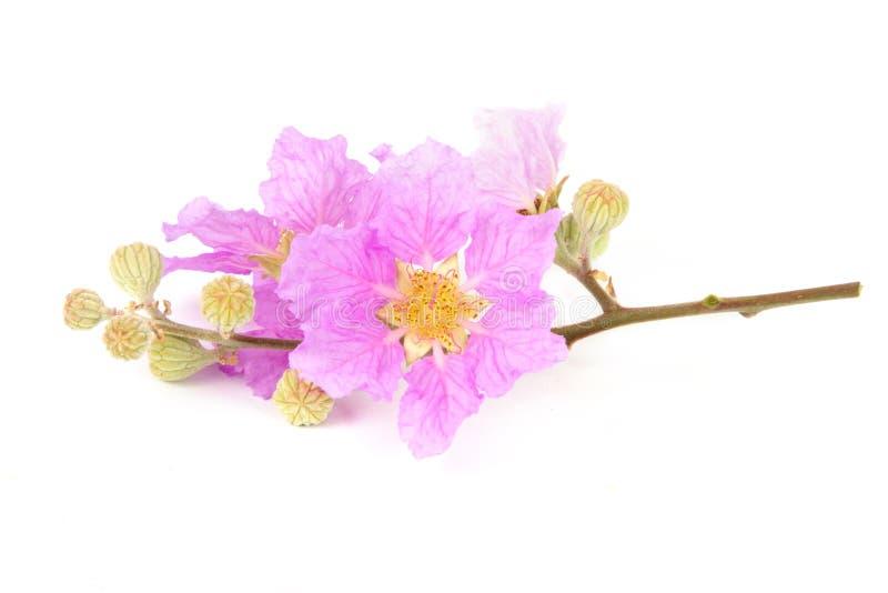 Flor tropical rosada aislada imagen de archivo