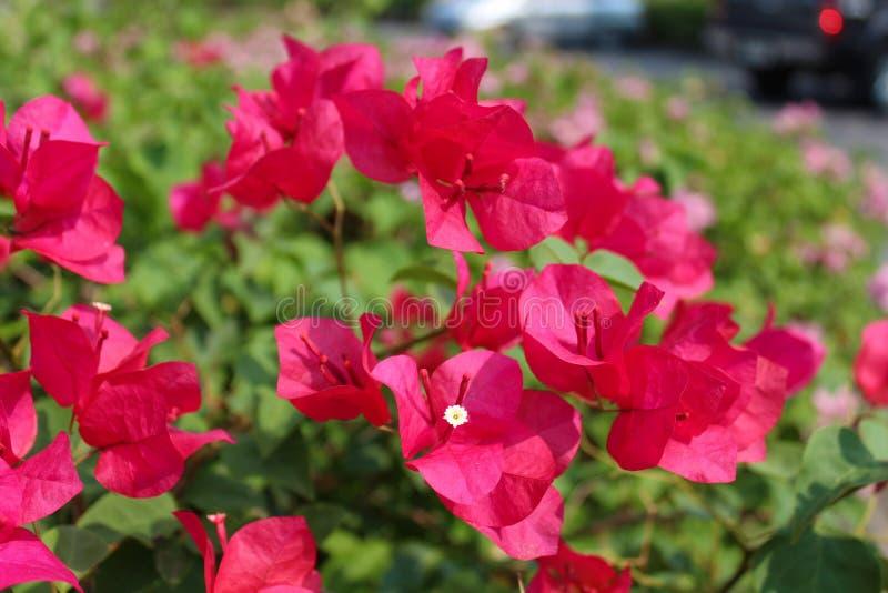 Flor tropical rosada en el parque de Lumpini, Tailandia foto de archivo