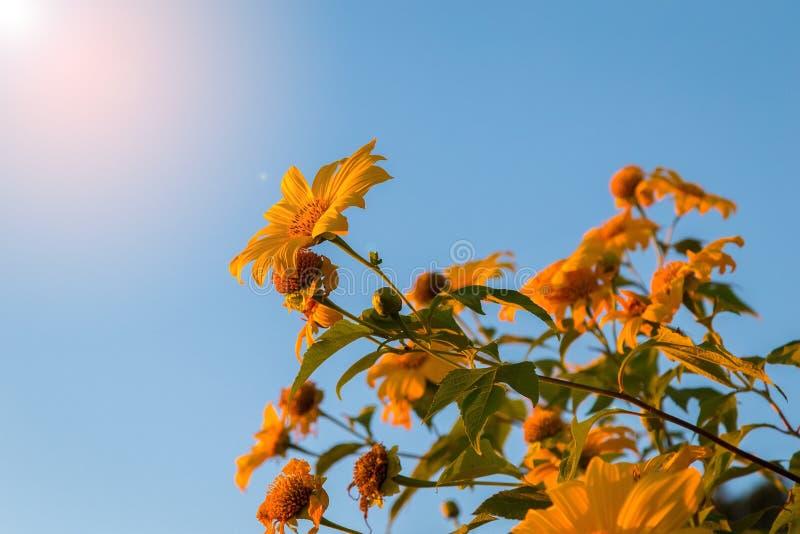 Flor Tung Bua Tong da natureza da paisagem do por do sol foto de stock