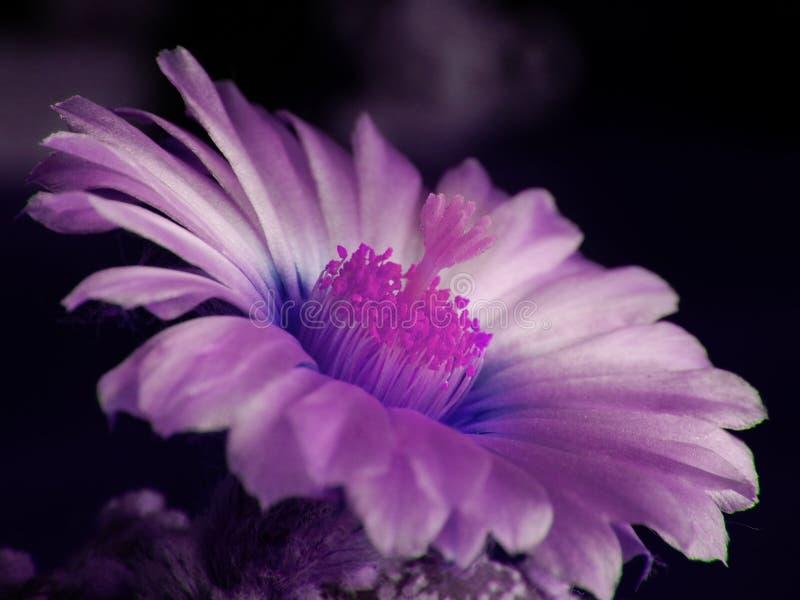 Flor ultravioleta del cactus imagenes de archivo