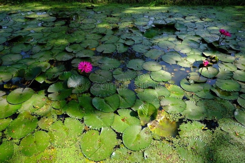 Flor velha bonita do lírio dos lótus cor-de-rosa cor-de-rosa ou de água na lagoa fotografia de stock