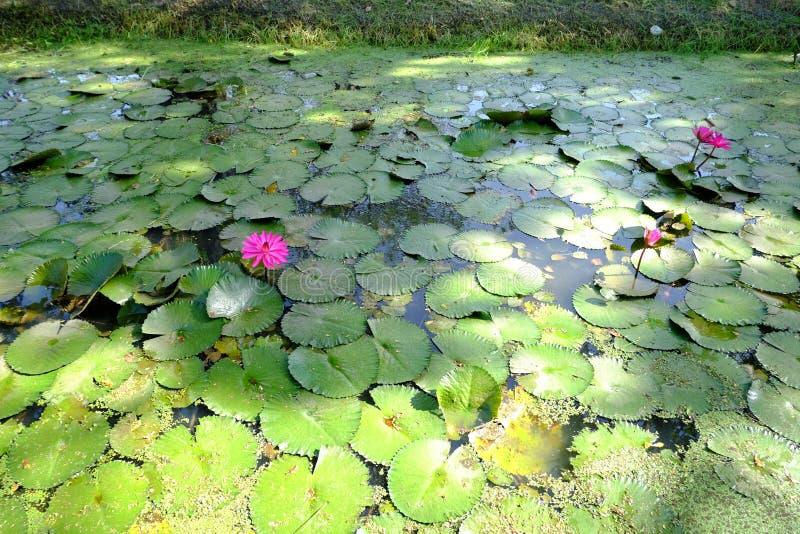 Flor velha bonita do lírio dos lótus cor-de-rosa cor-de-rosa ou de água na lagoa fotos de stock