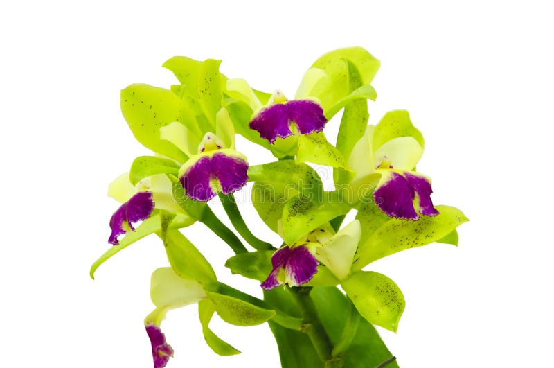 Flor verde aislada de la orquídea del cattleya imagen de archivo