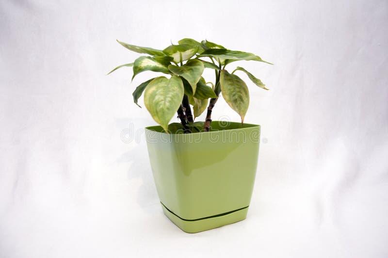 Flor verde clara foto de archivo libre de regalías