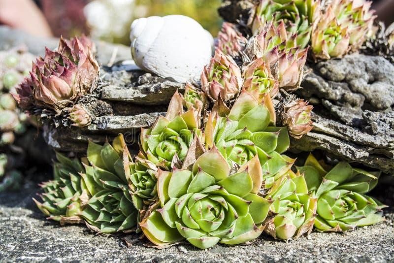 Flor verde decorativa para el diseño de un paisaje La piedra se levantó Cactus Shell de un caracol Dendrarium Suculento fotos de archivo