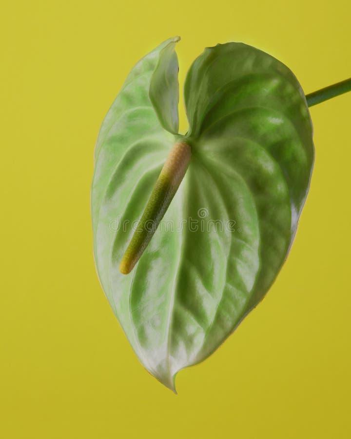 Flor verde del Anthurium imagen de archivo libre de regalías