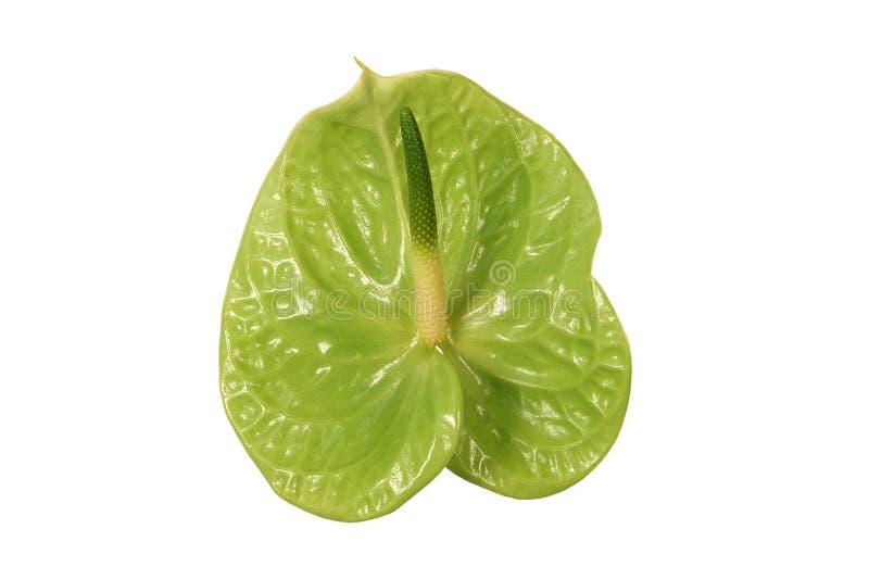 Flor verde del Anthurium en un fondo blanco imagenes de archivo