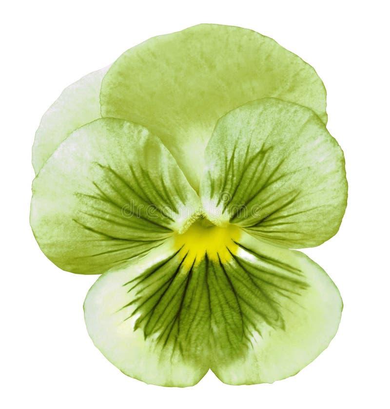 A flor verde do amor perfeito em um branco isolou o fundo com trajeto de grampeamento Close up nenhumas sombras imagens de stock
