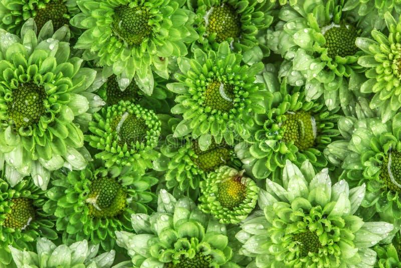 Flor verde fresca macia com gota da água de chuva para o amor d romântico foto de stock royalty free