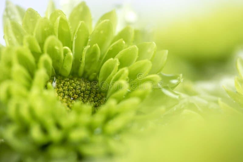 Flor verde fresca macia com uma gota da água de chuva para o romanti do amor imagens de stock royalty free