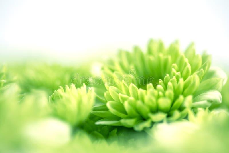 Flor verde fresca macia para o fundo sonhador romântico do amor, f foto de stock