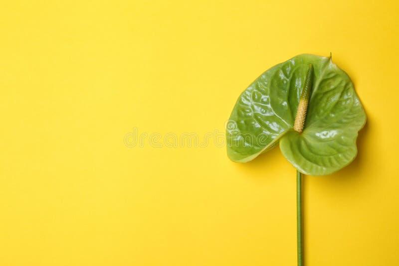 Flor verde hermosa del Anthurium foto de archivo libre de regalías