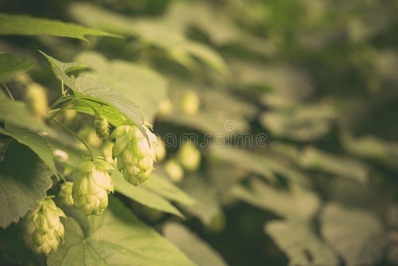 Flor verde y hojas frescas del salto que crecen en una yarda del salto para la medicina herbaria Primer de los conos de salto mad fotos de archivo libres de regalías
