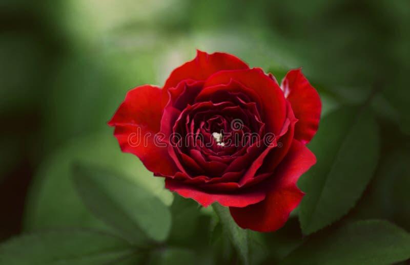 A flor vermelha é paixão imagens de stock royalty free