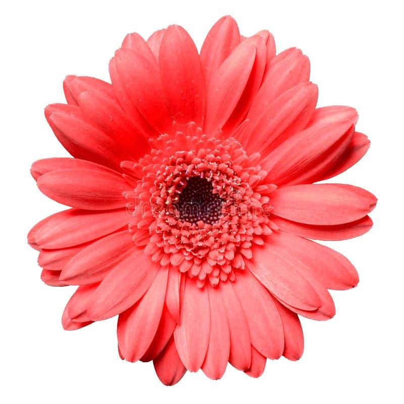 Flor vermelha bonita da margarida do gerbera isolada no close up branco do fundo foto de stock