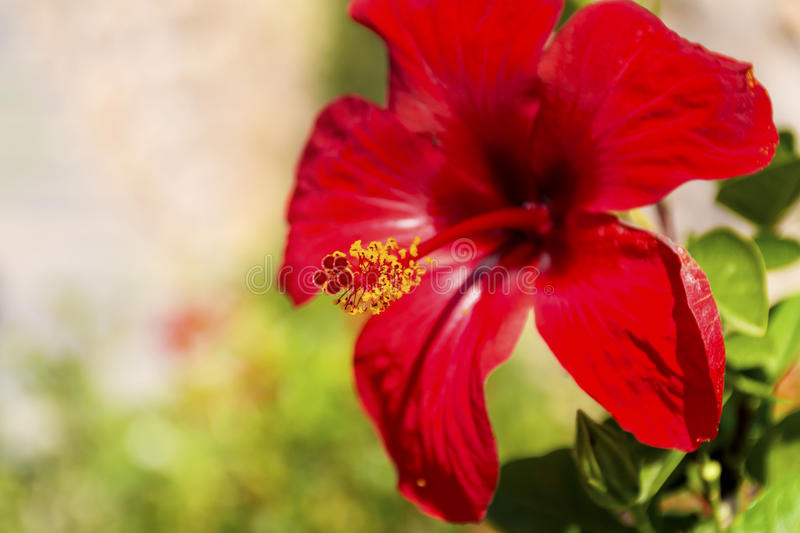 Flor vermelha bonita do hibiscus - close up foto de stock