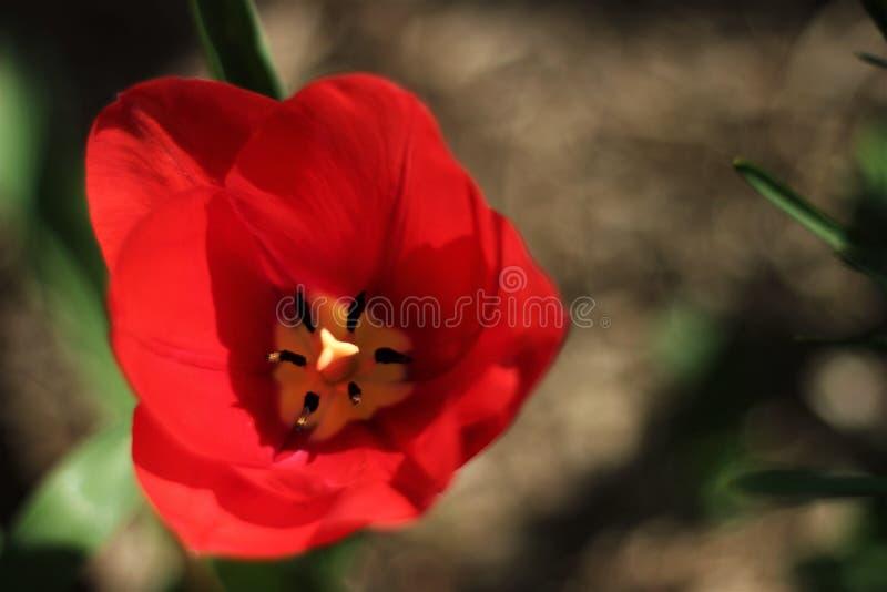 Flor vermelha bonita do tulip foto de stock