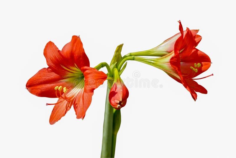 Flor vermelha brilhante bonita de florescência e de brotamento de Hippeastrum ou de Amaryllis e haste verde isoladas no fundo bra foto de stock