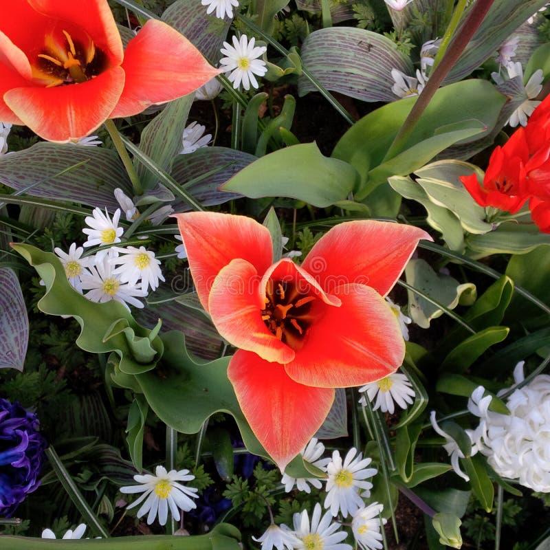 Flor vermelha brilhante - florescida inteiramente imagem de stock