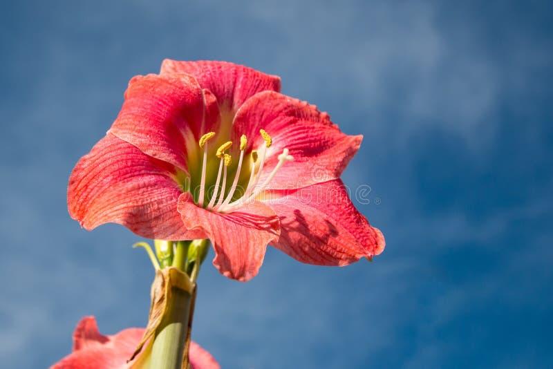 Flor vermelha clara do lírio de beladona de Amaryllis com fundo do céu azul fotografia de stock