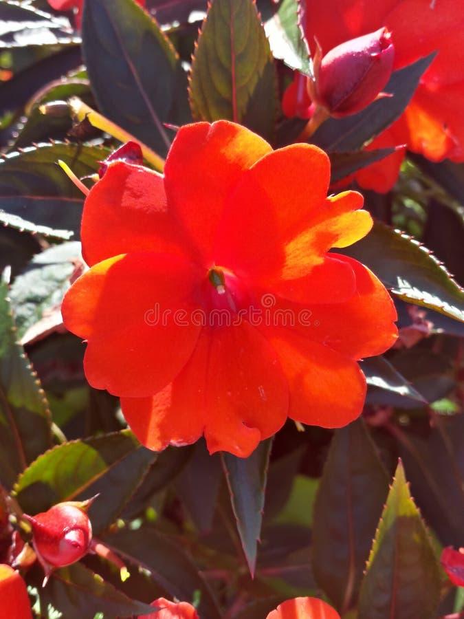Flor vermelha colorida imagens de stock