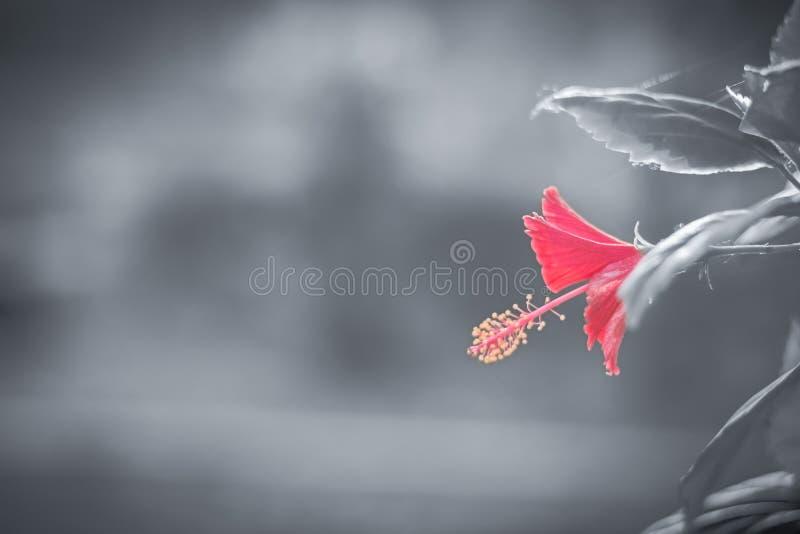 Flor vermelha com fundo preto e branco fotos de stock
