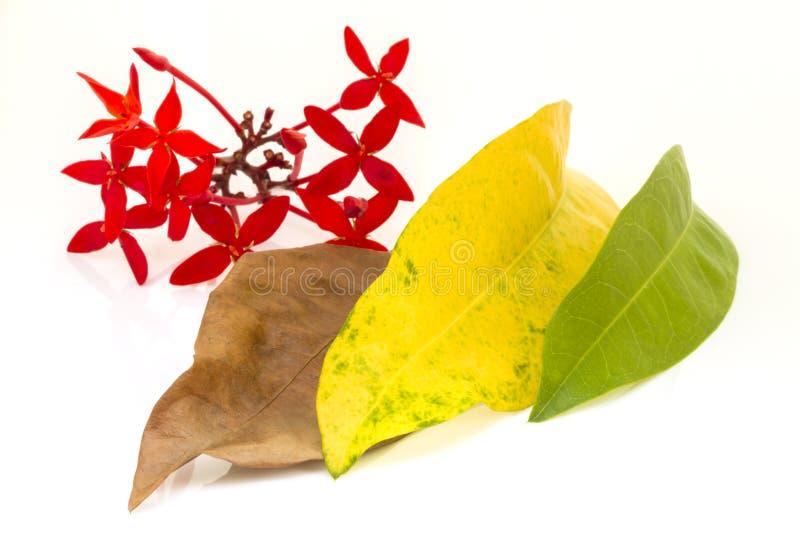 Flor vermelha com o isolado marrom e amarelo e verde das folhas no fundo branco fotos de stock royalty free