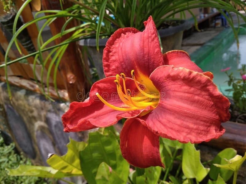 Flor vermelha da amar?lis fotos de stock