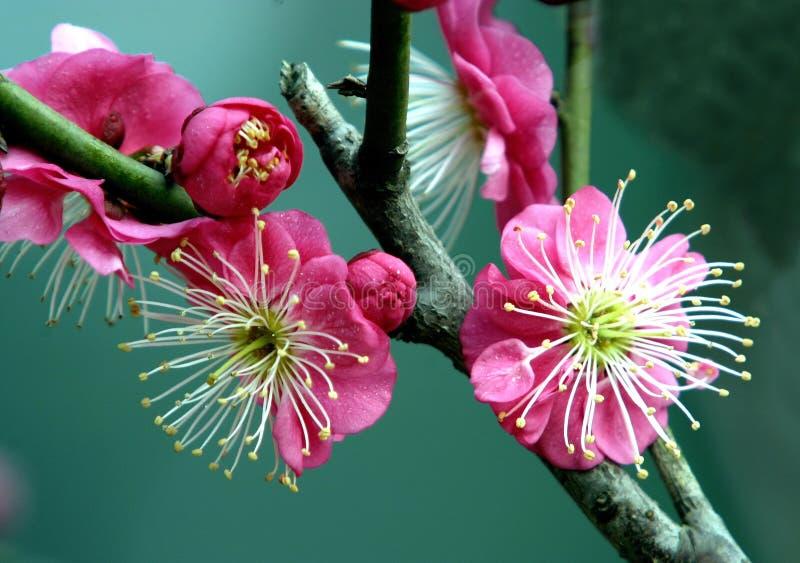 Flor vermelha da ameixa fotos de stock