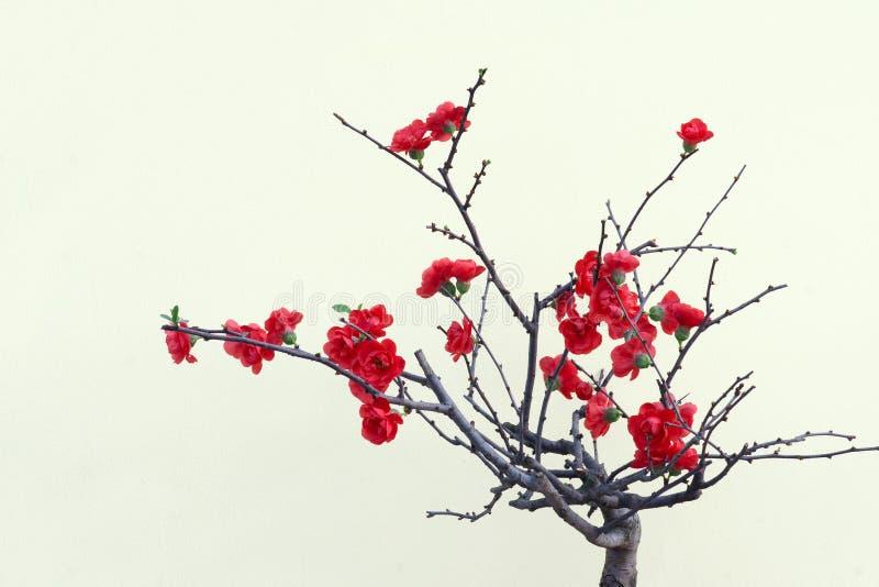 Flor vermelha da ameixa imagem de stock