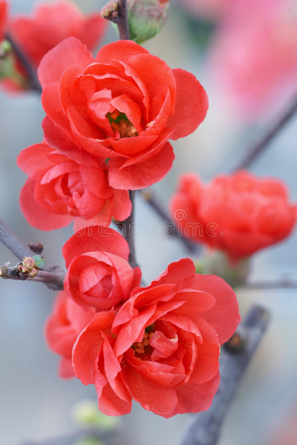 Flor vermelha da ameixa imagens de stock royalty free