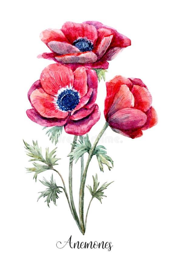 Flor vermelha da anêmona da aquarela ilustração royalty free