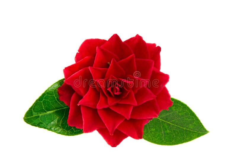 Flor vermelha da camélia foto de stock