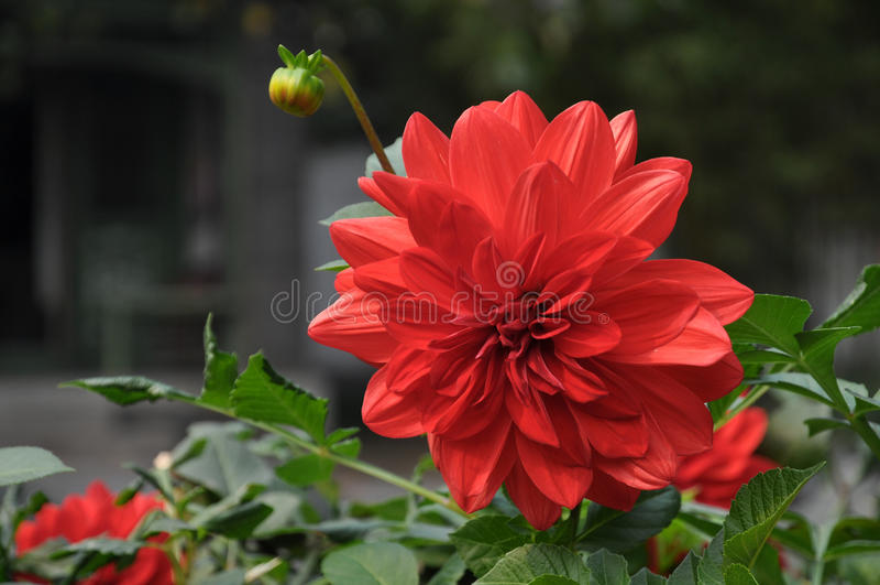 Flor vermelha da dália fotografia de stock royalty free