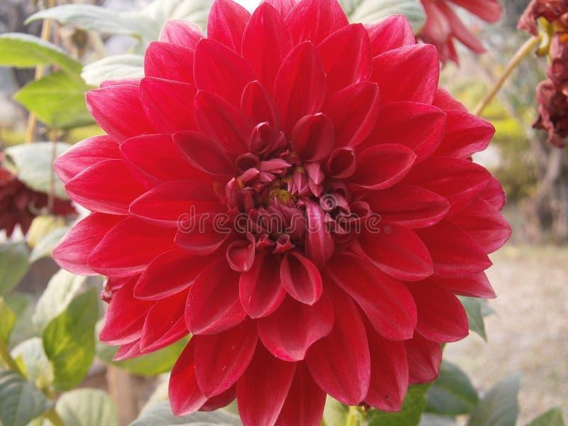 Flor vermelha da dália foto de stock royalty free