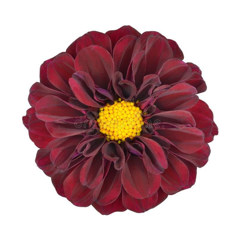 Flor vermelha da dália com o centro amarelo isolado imagem de stock